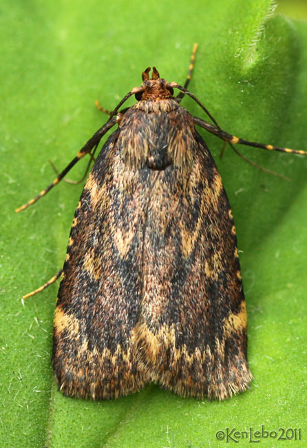 Grease Moth Aglossa cuprina #5518