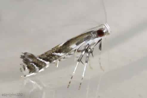 Leucospilapteryx venustella #0698