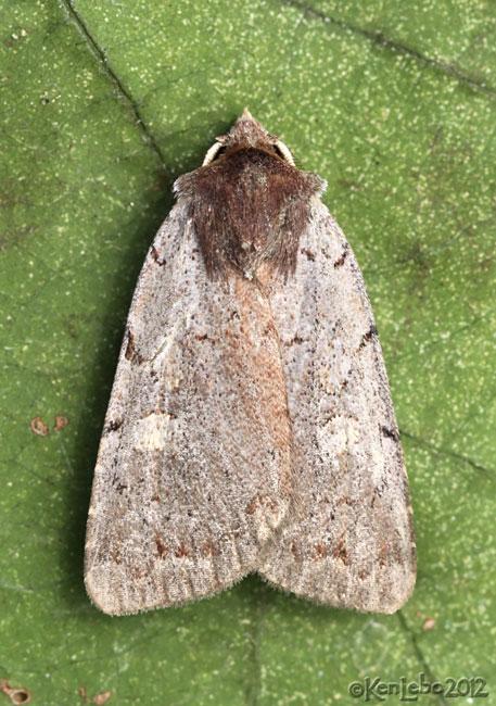 Dull Reddish Dart Moth Xestia dulucida #10969