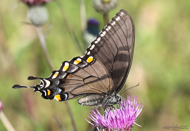 Eastern Tiger Swallowtail female