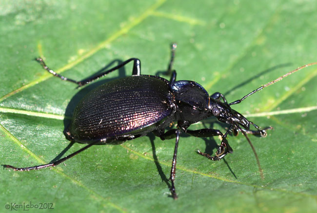 Ground Beetle Carabus vinctus