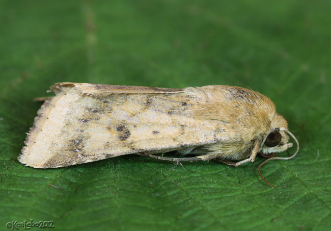 Corn Earworm Moth Helicoverpa zea #11068