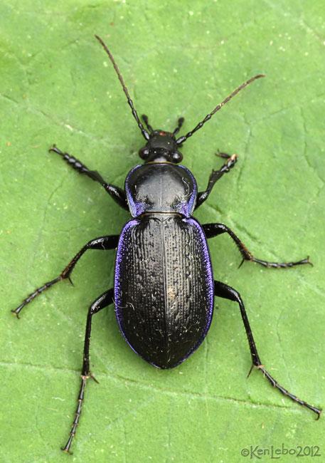 Ground Beetle - Carabus serratus