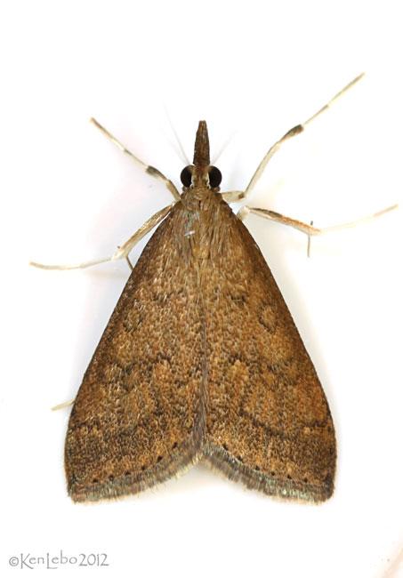 Celery Leaftier Moth Udea rubigalis #5079