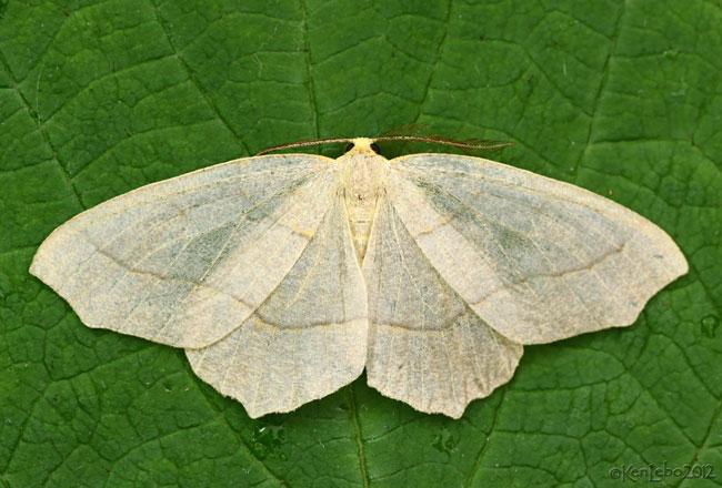 Hemlock Looper Moth Lambdina fiscellaria #6888