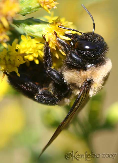 Eastern Bumble Bee Bombus impatiens