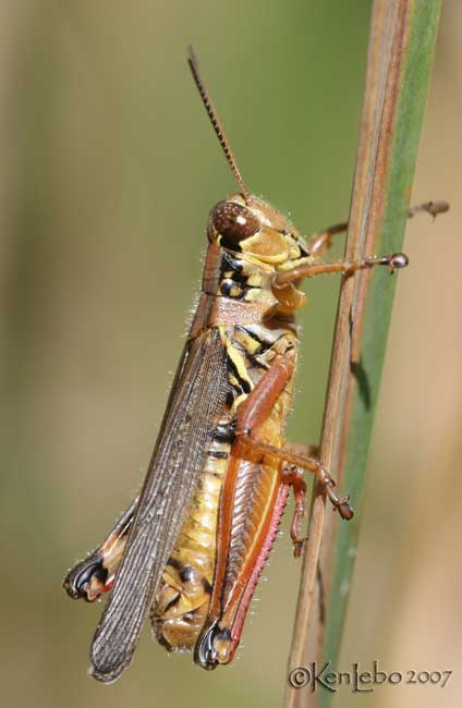 Red-legged Grasshopper