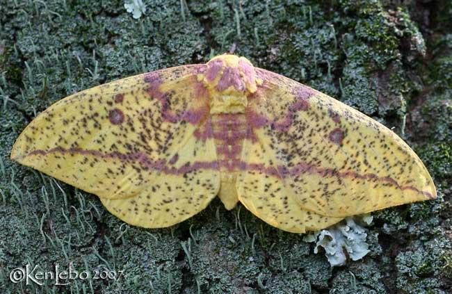 Imperial Moth Eacles imperialis #7704