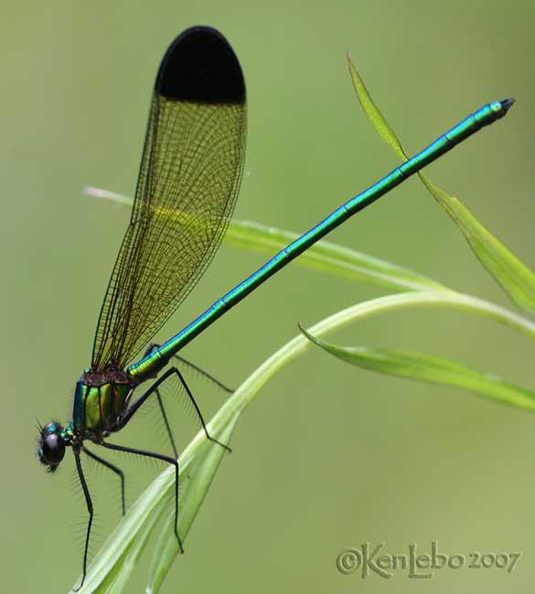 Sparkling Jewelwing Calopteryx dimidiata