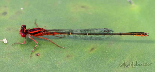 Scarlet Bluet Enallagma pictum