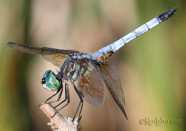Blue Dasher Pachydiplax longipennis