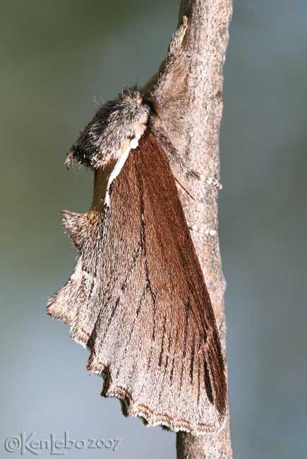 Elegant Prominent Odontosia elegans #7924