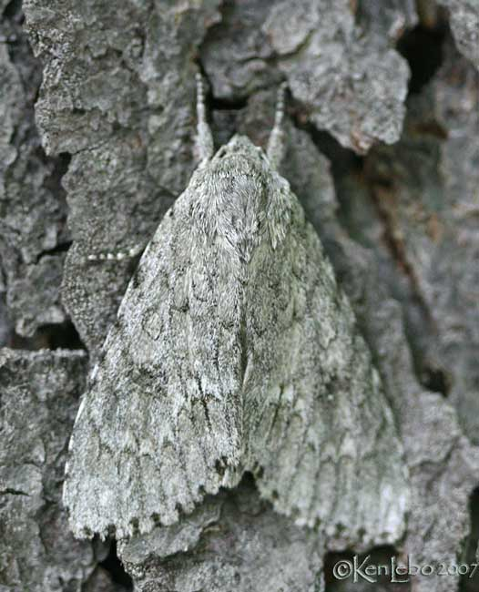 American Dagger Moth Acronicta americana #9200