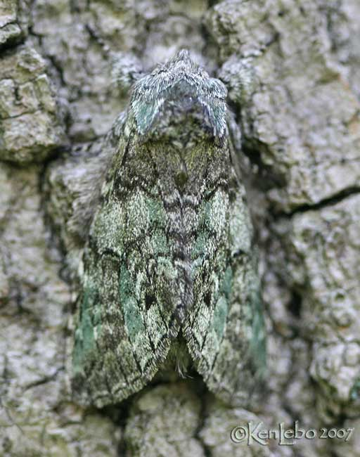 Mottled Prominent Macrurocampa marthesia #7975