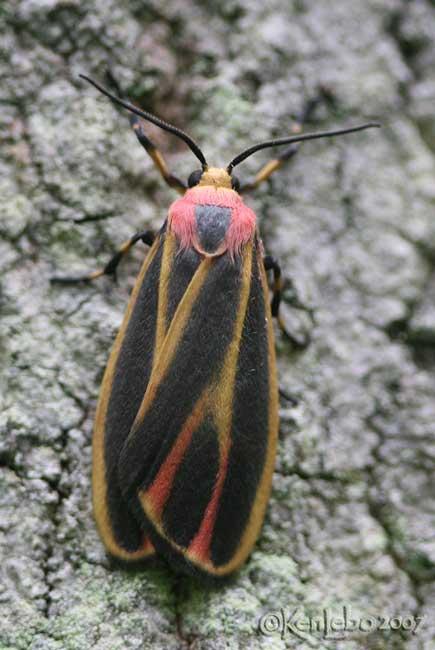 Painted Lichen Moth Hypoprepia fucosa #8090