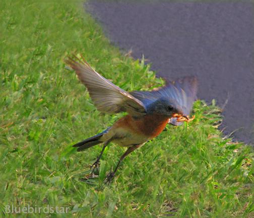 Bluebirdstar Father