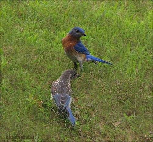 Bluebird Dad and Son