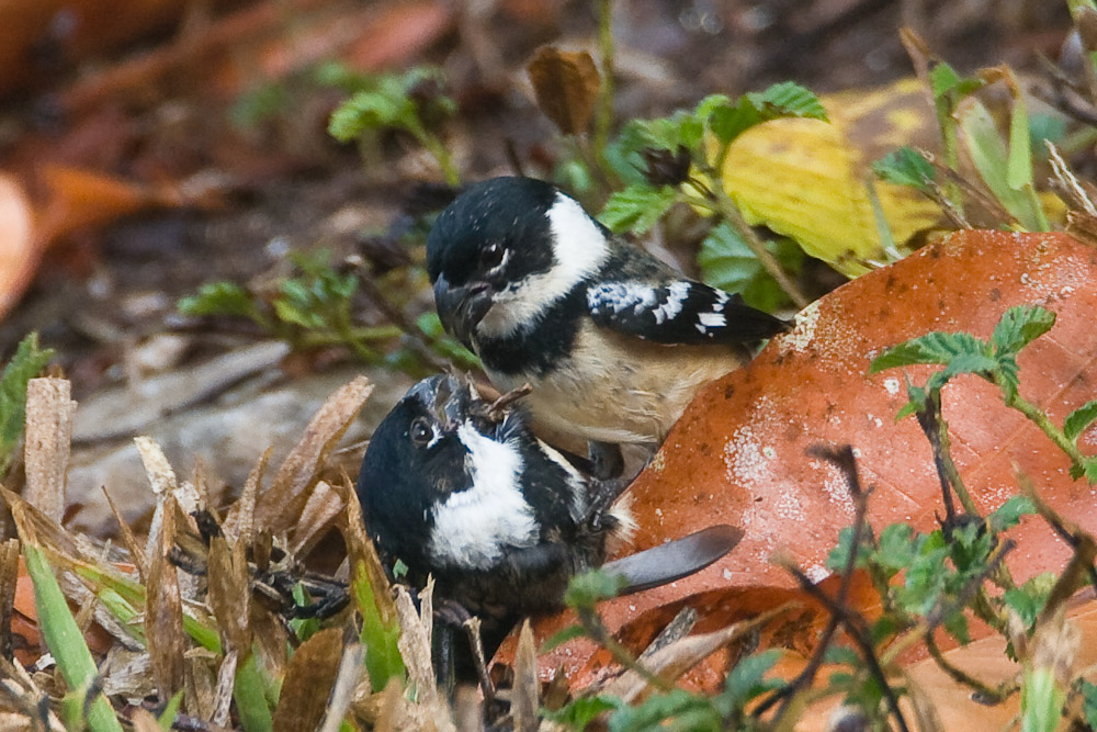 White-collared Seedeaters