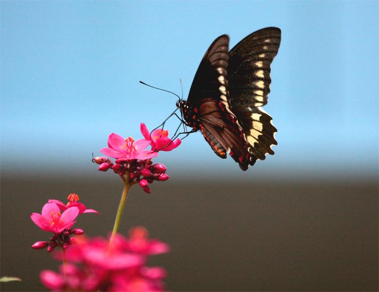 Black Butterfly on Red Flower 2.jpg