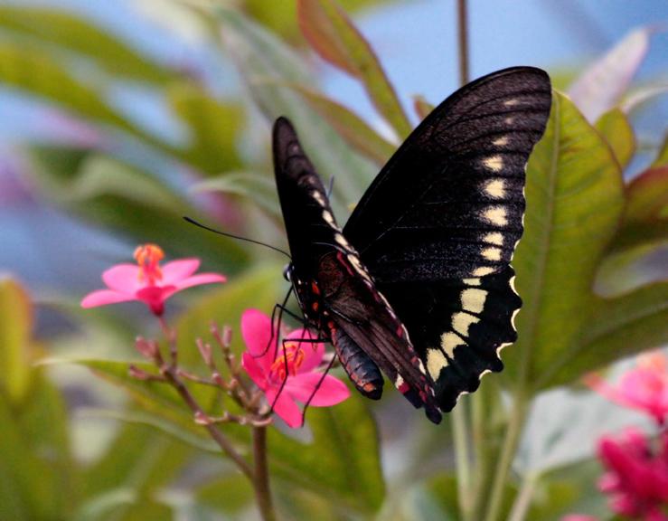 Black Butterfly on Red Flower 3_filtered.jpg