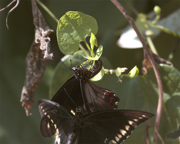 Two black butterflies in butterfly garden.jpg