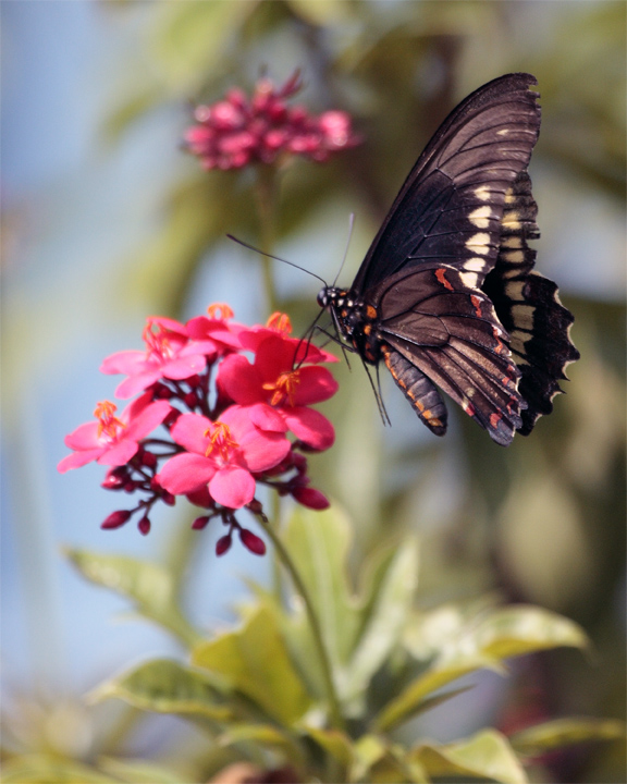 Black Butterfly Hovering over red flower vertical.jpg