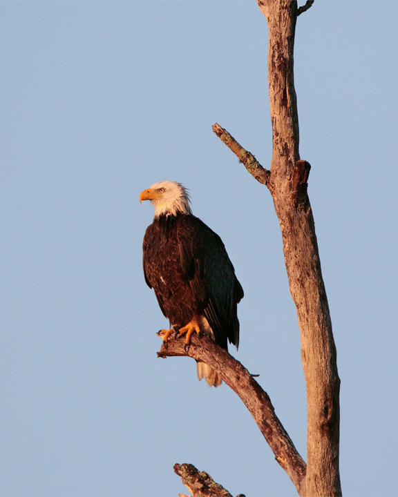 Bald Eagle on Dead Tree Looking Left.jpg