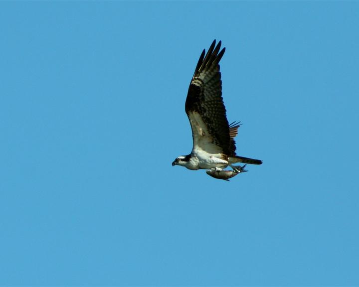 Danny Osprey Carrying Fish.jpg