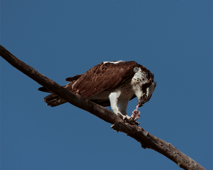 Osprey Eating on Branch.jpg