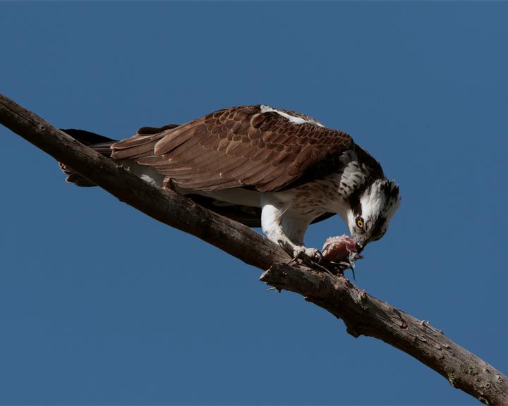 Osprey Eating on Branch 3.jpg