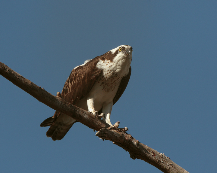 Osprey Eating on Branch Looking Up.jpg