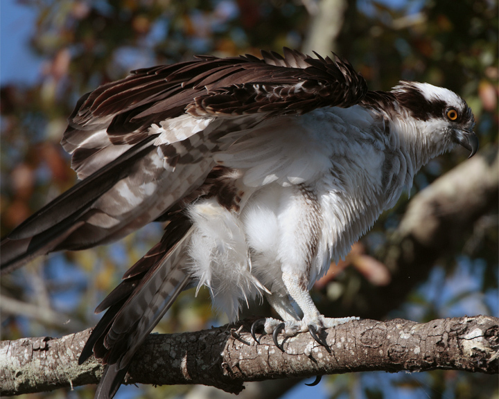 Osprey on overhead branch.jpg