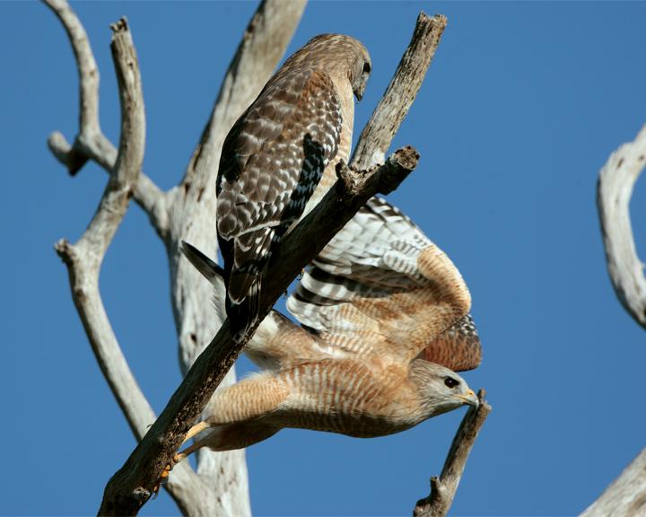 Red Shoulder Hawk Pair in dead tree one flying.jpg