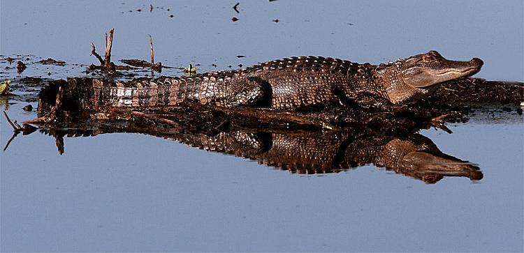 Gator Reflection Crop.jpg