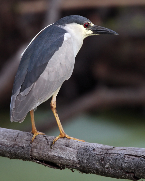 Night Heron on Marsh Rabbit Run.jpg