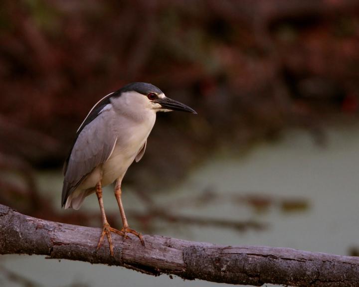 Night Heron on Marsh Rabbit Run 2.jpg