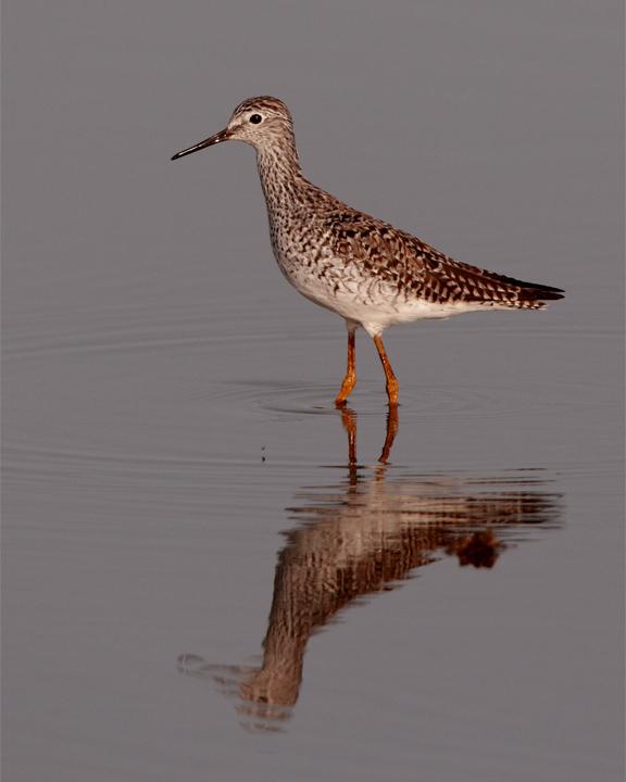 Lesser Yellow Legs on Wading Bird Way 3.jpg