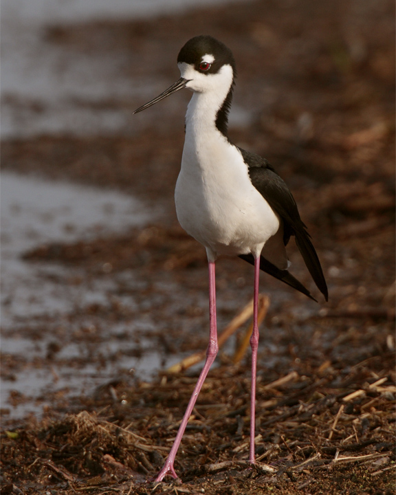 Black Neck Stilt Vertical.jpg
