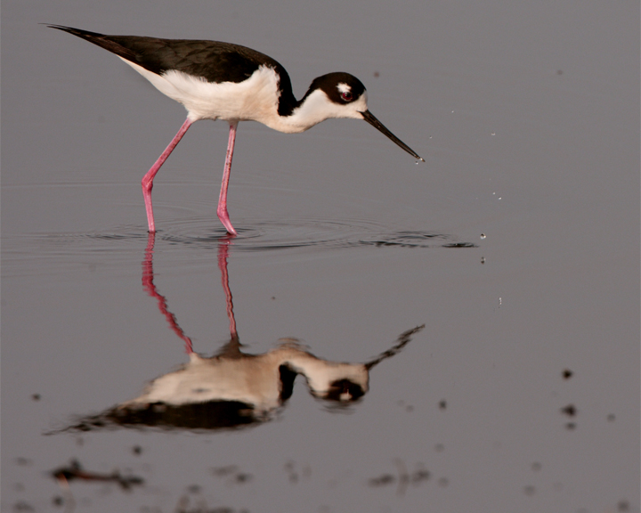Black Neck Stilt with water droplets.jpg