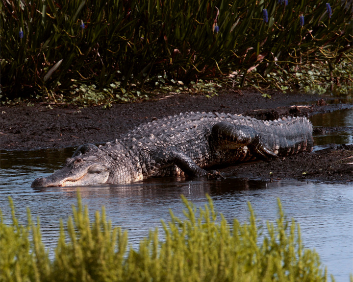 Big Daddy Gator Going in the Water 2.jpg