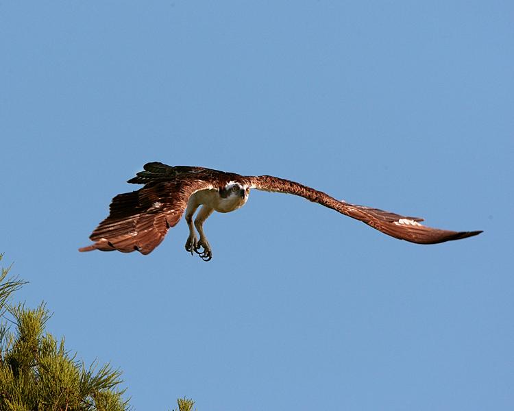 Osprey Launching from Tree on Alligator Alley.jpg
