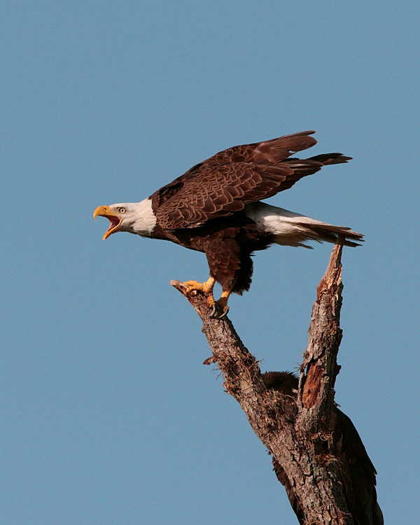 Eagle Calling Behind Discovery Center.jpg