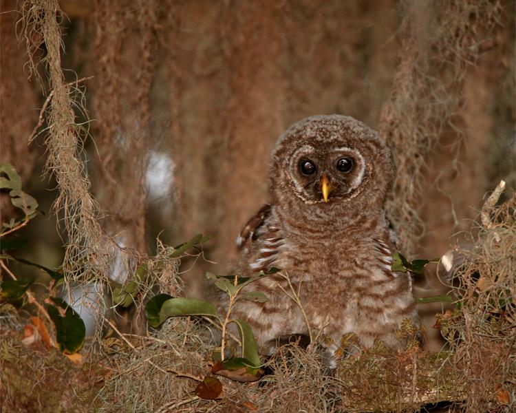 Juvenile Barred Owl on a Branch.jpg