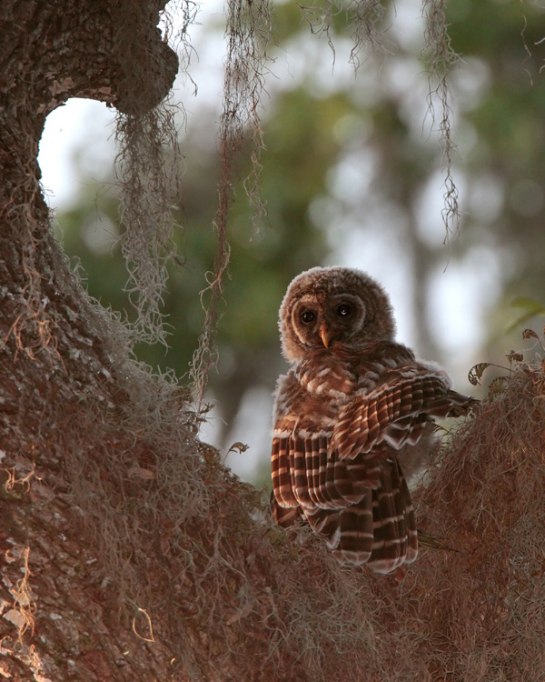 Owl in the Crook of a Tree.jpg
