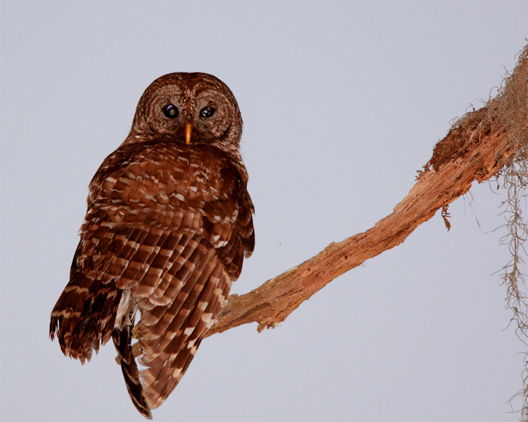 Barred Owl at the End of the Branch.jpg