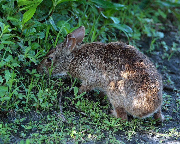 Bunny Nibbling Grass.jpg