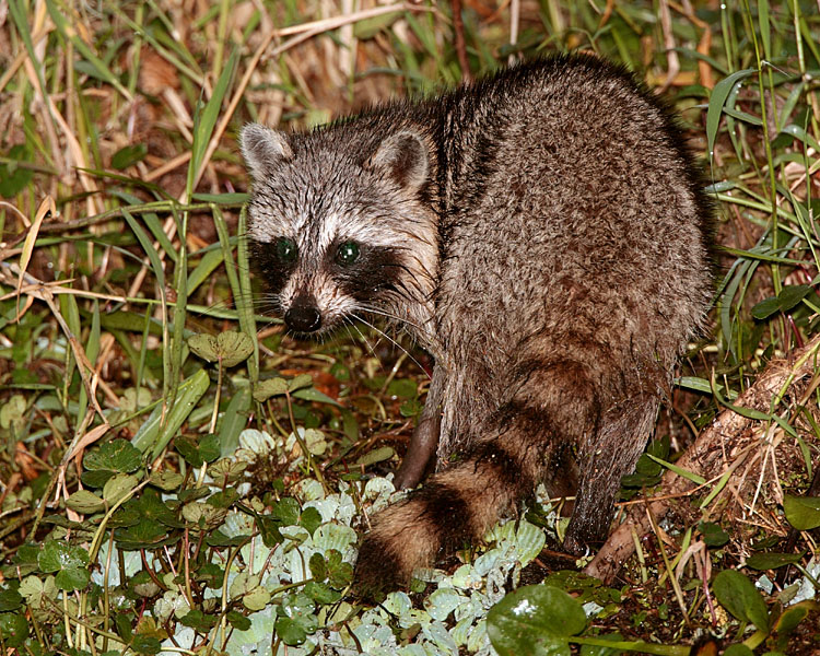 Racoon in the ditch on Alligator Alley.jpg