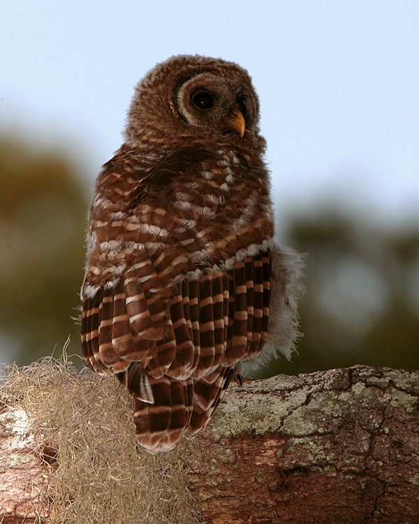 Juvenile Barred Owl on a Tree Limb.jpg