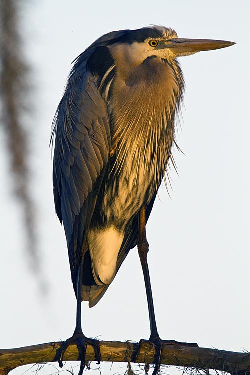 Great Blue Heron Vertical.jpg