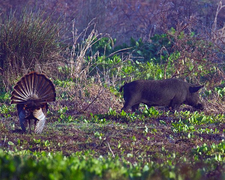 Hog and Turkey.jpg